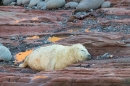 Grey Seal pup asleep on red rock. Nov '17.