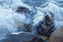 Grey Seal mum suckling pup in surf. Nov '17.