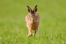 Brown Hare running straight on 2. Mar '19.