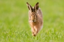Brown Hare running straight on 1. Mar '19.