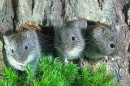 3 Young Field Voles.