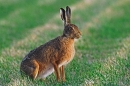 Alert Brown Hare.