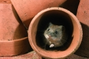 Field Vole in pots.