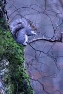 Grey Squirrel in misty woodland.