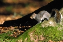Grey Squirrel on beech root.