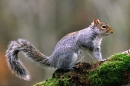 Grey Squirrel on mossy birch branch 2.