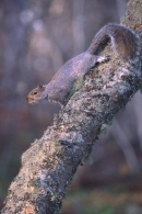 Grey Squirrel on silver birch trunk.
