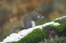 Grey Squirrel on snowy beech.