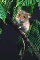 Harvest Mouse amid horse chestnut leaves.