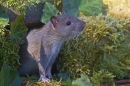 Brown rat emerging from ivy mossy rock hole. Apr. '20.