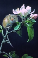 Harvest Mouse on apple blossom.