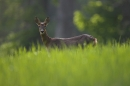 Roe Deer,doe.