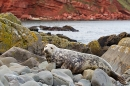 Female Grey Seal landscape. Nov. '20.